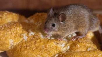 control de plagas de ratas en mataro