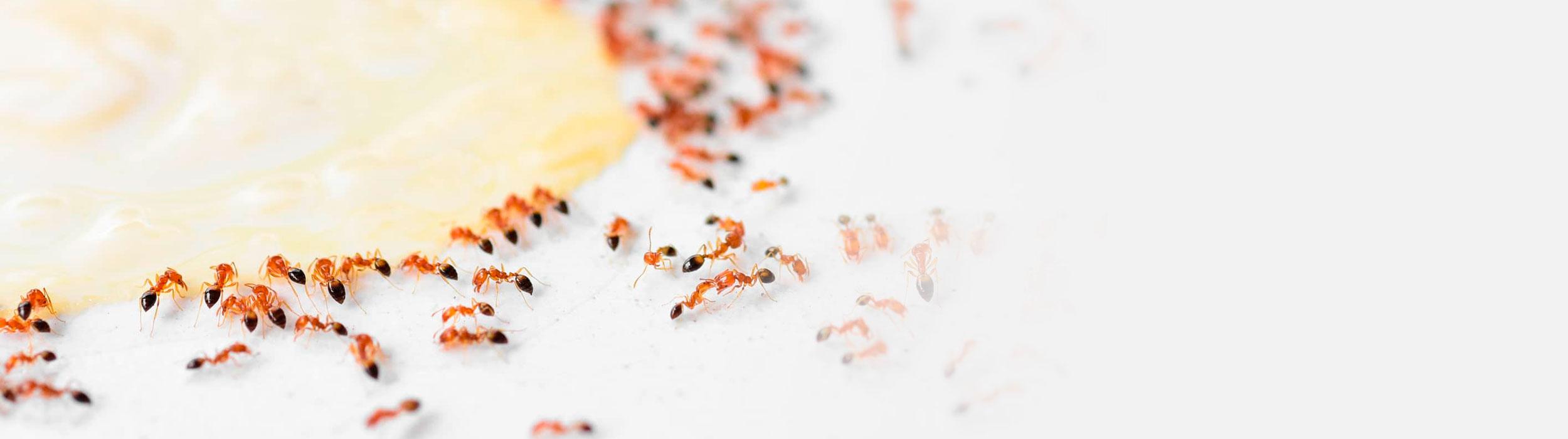 empresa eliminar plagas hormigas control de plagas