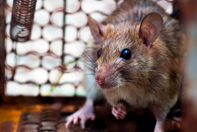 Tengo Ratas En Casa?
