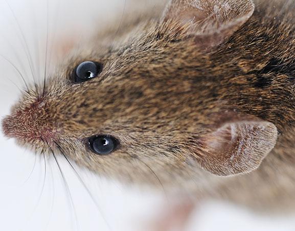 Cómo Eliminar Ratas, actúa con efectividad