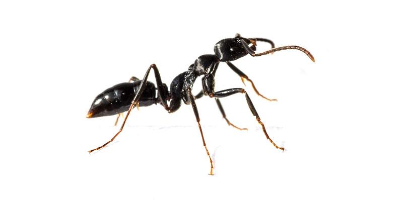 Como Eliminar Hormigas Iluroplagas