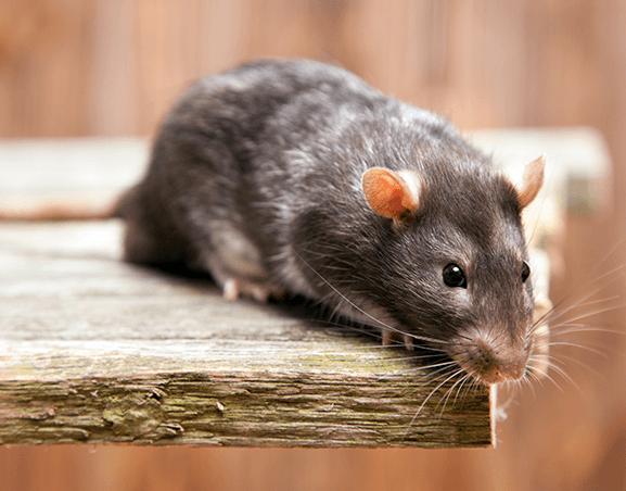 Iluroplagas Plaga Ratones