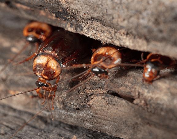 Cucarachas en casa: cómo detectarlas y eliminarlas