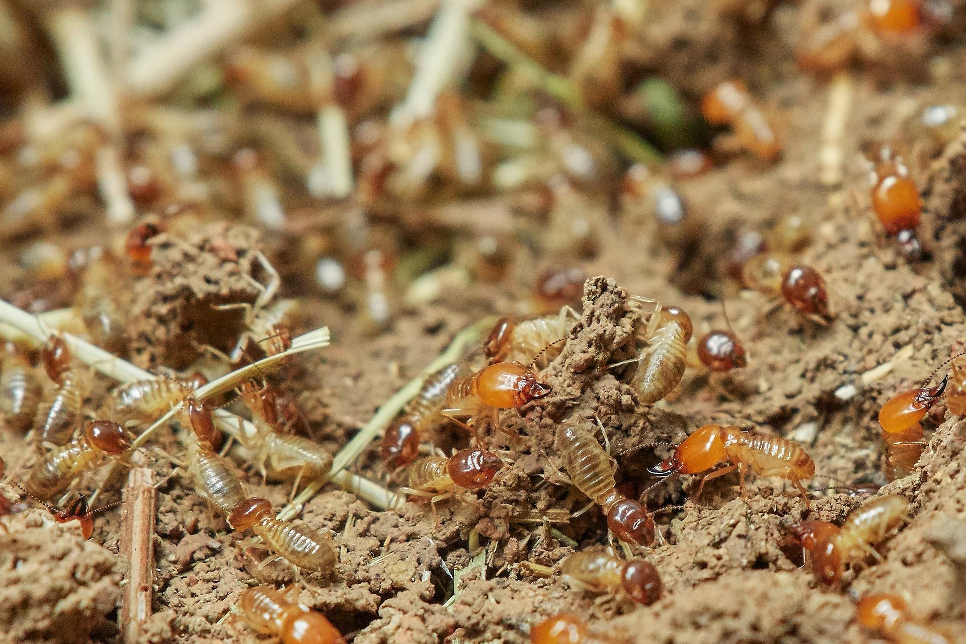 Termitas Animales Ectotérmicos