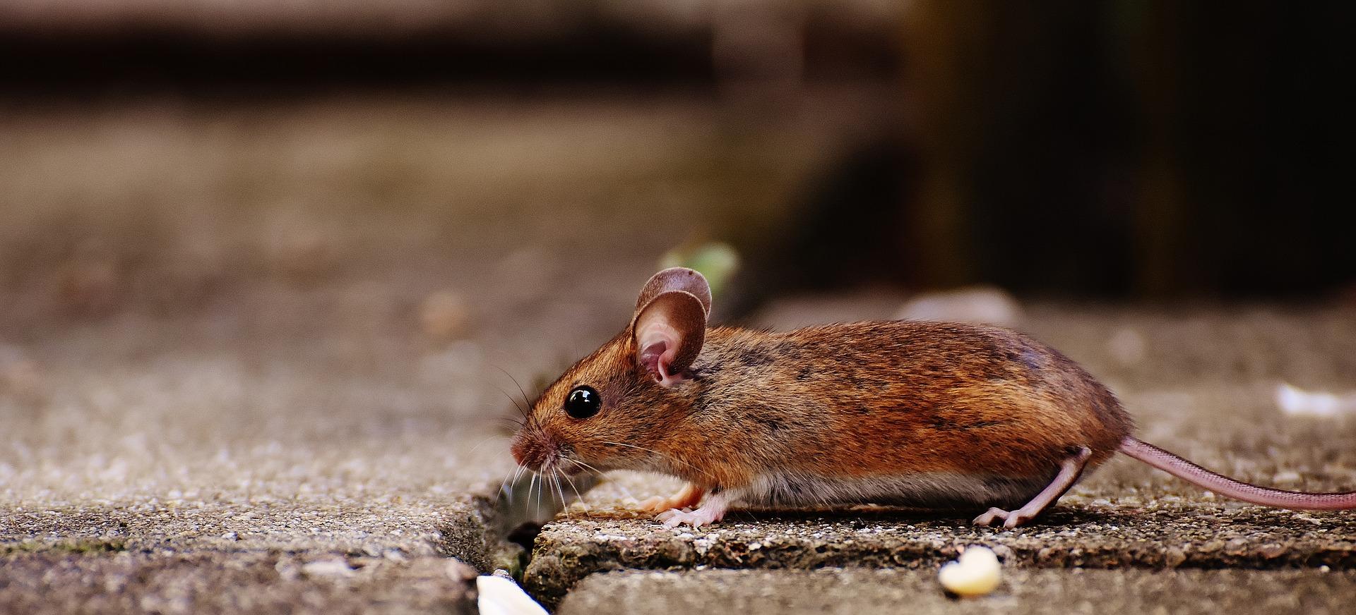 Falso Techo Y Plagas Comunes: Ratones, Ratas, Hormigas Y Cucarachas