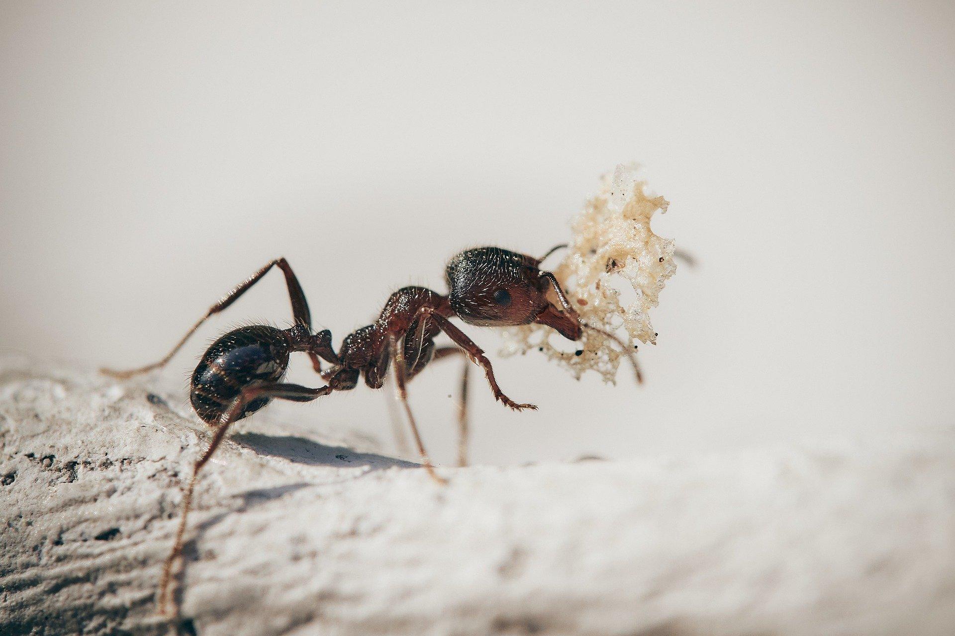 ¿Que Enfermedades Transmiten Las Hormigas?